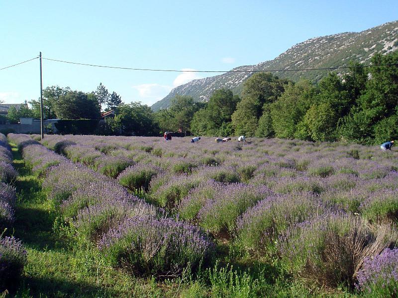 Lavendelfield