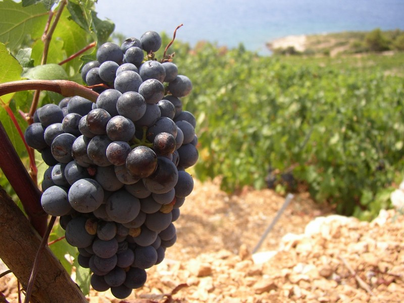 Rezultat slika za vinogradi