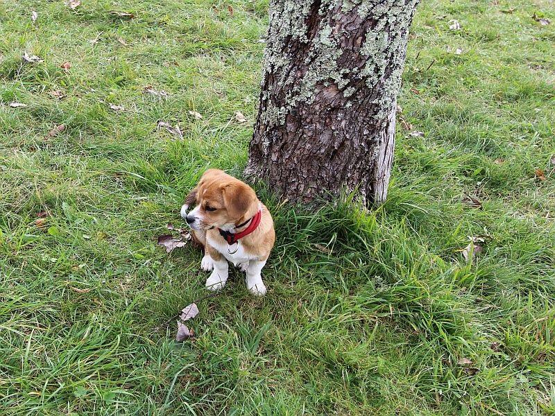Unsere  kleinste   trüffelhund